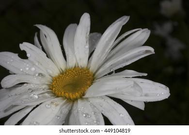 Camomile macro rain drops