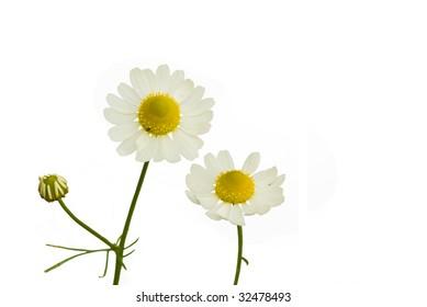 Camomile (Matricaria recutita) on the white background