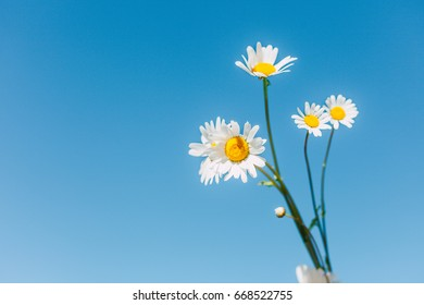 Camomile on blue sky background, white summer flowers