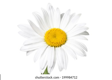 Camomile on white background, closeup. Beautiful daisy. Lovely white flower. Nice image, wallpaper, background, texture, greeting card.