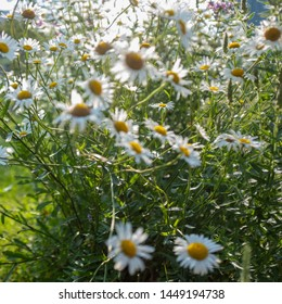 camomile plants in blossom in evening light