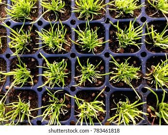 Camomile Seedlings in Grid Flat