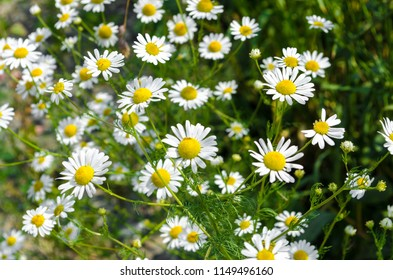 Camomile summer field