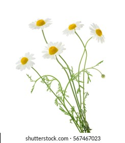 Camomiles isolated on white background. without shadow