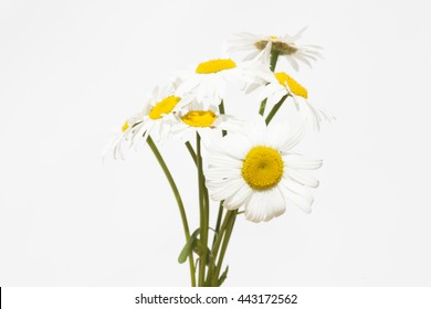 camomiles on a white background