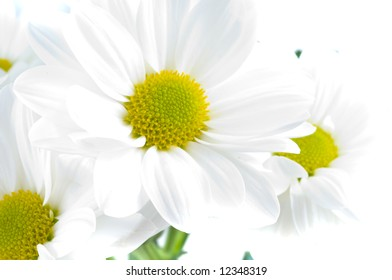Camomiles. Spring flowers