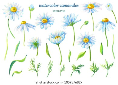 Camomiles.Floral set.Watercolor  flowers on a white background.Illustration with daisy.Design element for scrapbooking, Invitations,greeting card,books and journals,decoupage,weddings, birthdays.