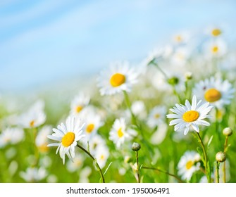 camomille field