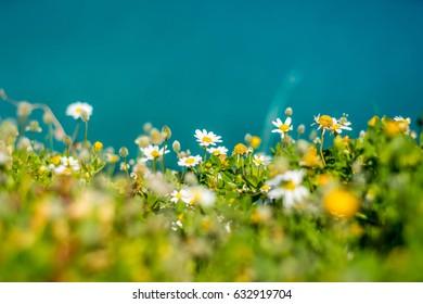 Camomille flowers at aegean seaside, springtime