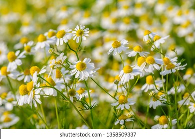 Camomille flowers grow at wild summer meadow