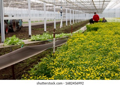 Camomille grower in the Netherlands. Greenhouse with yellow flowers, bunches on transport. Shallow depth of focus, focus on second bunch. Workers in background.