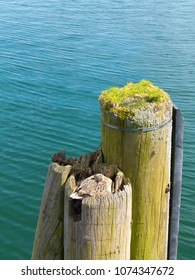 camouflage of a female mallard duck hiding itself and its nest in a wooden mooring pile in the harbor