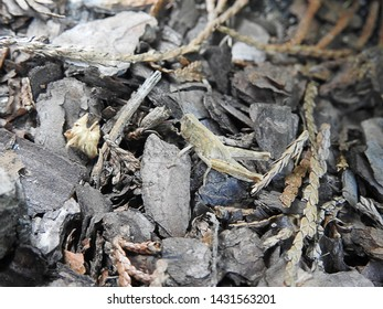The camouflage, A gray grasshopper on gray background.