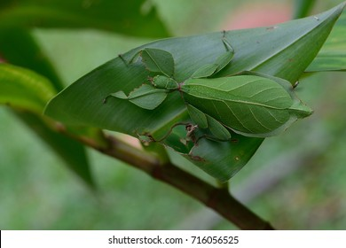 camouflage leaf mantis on branch tree in the wild