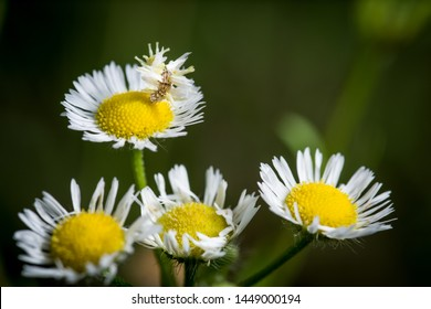 Camouflage looper caterpillar crawling on top of a white and yellow daisy fleabane or aster flower against a blurry bokeh green background copy space