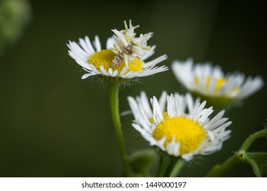Camouflage looper caterpillar, Synchlora aerata, on top of a white and yellow daisy fleabane or aster flower against a blurry bokeh green background