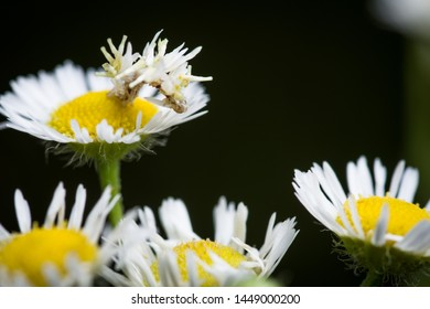 Camouflage looper caterpillar, Synchlora aerata, eating a white petal of a white and yellow daisy fleabane or aster flower against a blurry bokeh green background copy space