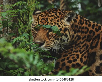 Camouflage male jaguar lurking in forest