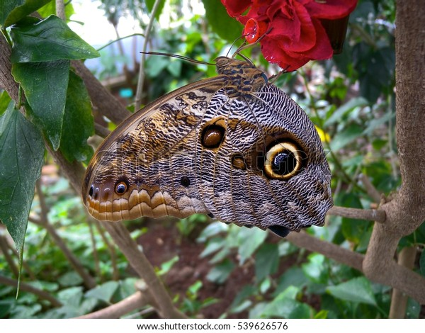 Camouflaged butterfly appears bigger than it is
