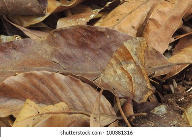 Camouflaged Common Evening Brown Butterfly (Melanitis leda) in the rainforest