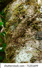 Camouflaged Giant Leaf-tailed Gecko (Uroplatus fimbriatus) in Ranomafana National Park, eastern Madagascar