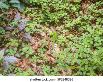 A camouflaged male giant ameiva (AKA giant whiptail) scurries across the jungle floor.