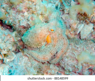 Camouflaged Mediterranean octopus on the seabed
