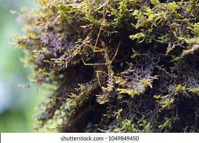 Camouflaged moss-mimic stick insect (Antongilia laciniata) endemic to the tropical rain forest of the Eastern Madagascar.