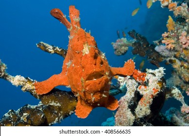 Camouflaged red giant frogfish / anglerfish sitting on a coral.