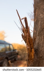 Camouflaged stick insect on tree in the outback of the Northern Territory in Australia