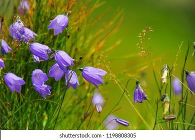 Campanula alpina. Beautiful purple flowers deep in the mountains.High Tatras national park, Slovakia.