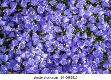 Campanula carpatica, tussock bellflower or Carpathian harebell. Rapido Blue. Plantae, Angiosperms, Eudicots, Asterids, Asterales, Campanulaceae, Campanula. Filled texture background of blue flowers.