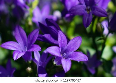 Campanula flower blossom close up. Purple bellflower in garden (Campanula portenschlagiana)