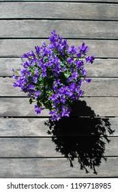 Campanula flower (Campanula portenschlagiana)  in pot on wooden table from top. Purple bellflower