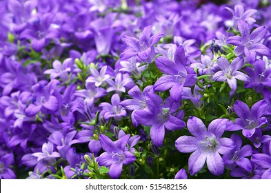 Campanula flowers as a background. Violet colored Campanula muralis growing in the garden.Selective focus