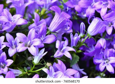 Campanula flowers as a background. Violet colored Campanula muralis growing in the garden.Selective focus.