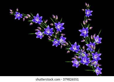 campanula flowers twig isolated on black background. delicate flower