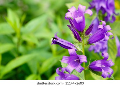 Campanula latifolia in garden. Giant bellflower, species of bellflower in the family Campanulaceae. It is also known as the large campanula and the wide-leaved bellflower