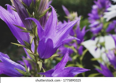 Campanula latifolia, the giant bellflower, is a species of bellflower in the family Campanulaceae. It is also known as the large campanula and the wide-leaved bellflower.