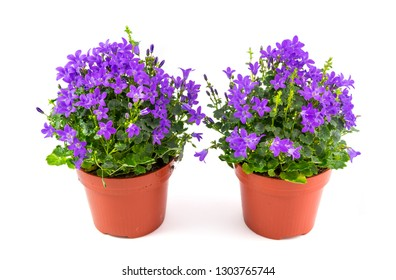 Campanula muralis in the vase isolated on white background.