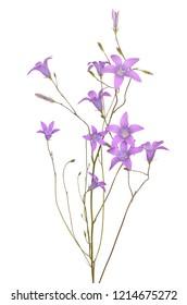 Campanula patula flowers isolated on white background