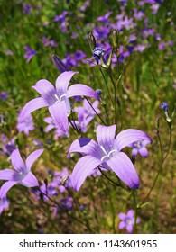 Campanula patula flowers on meadow