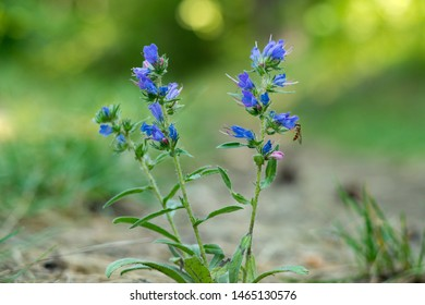 The campanula (Campanula patula) is a species of blue plant of the Campanulaceae family.