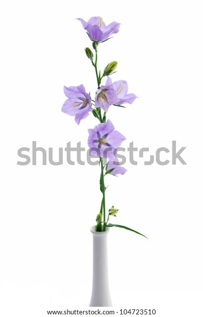 Campanula persicifolia, bell flower isolated on white
