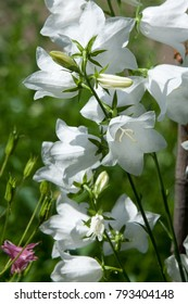 Campanula persicifolia blooms in the garden. Macedonian Garebets languages, the Greek bell, the Formanax bell. The Latin name is Campanula Formanekiana. White flowers in the summer village.