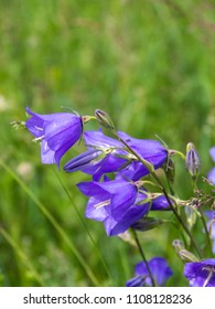 Campanula persicifolia flower plants grow in fields and meadows. Flower bells of purple color.
