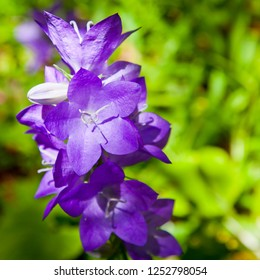 Campanula sp or Bellflower in Blue Mountains New South Wales Australia. Blooming purple flowers on lush green background, crop to square.