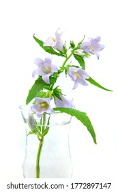 Campanula trachelium, commonly called nettle-leaved bellflower. Isolated on white background