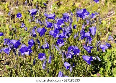 Campanulas (Campanula cochleariifolia also Campanula cochlearifolia) in the french Alps to La Plagne