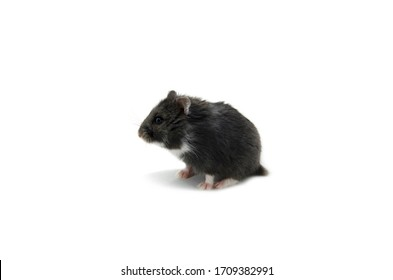Campbell hamster on white background